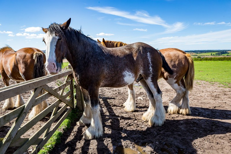 A group of Clydesdale horses