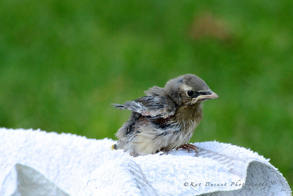 Baby Waxwing