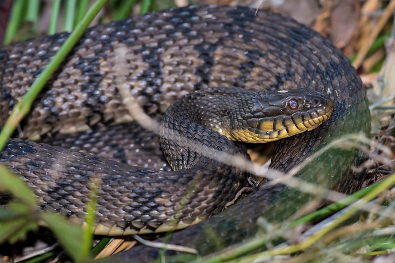 Diamond Back Water Snake - Texas
