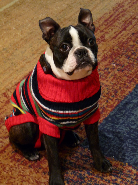 Boston Terrier Fashion Show