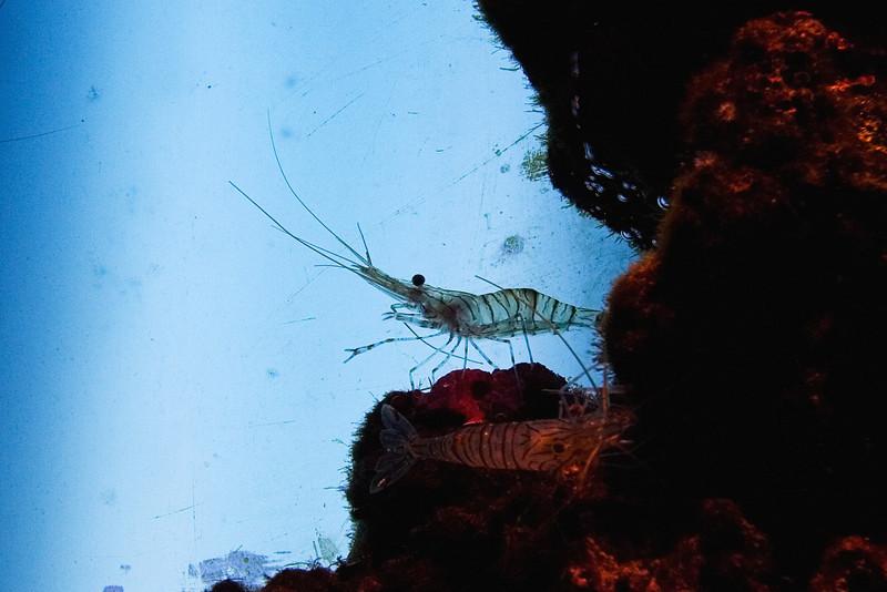 Peppermint Shrimp.jpg