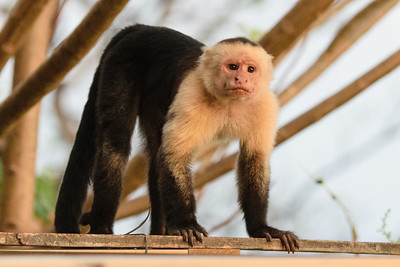 Capuchin monkey looking for a snack.