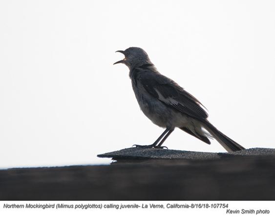 Northern Mockingbird J107754.jpg