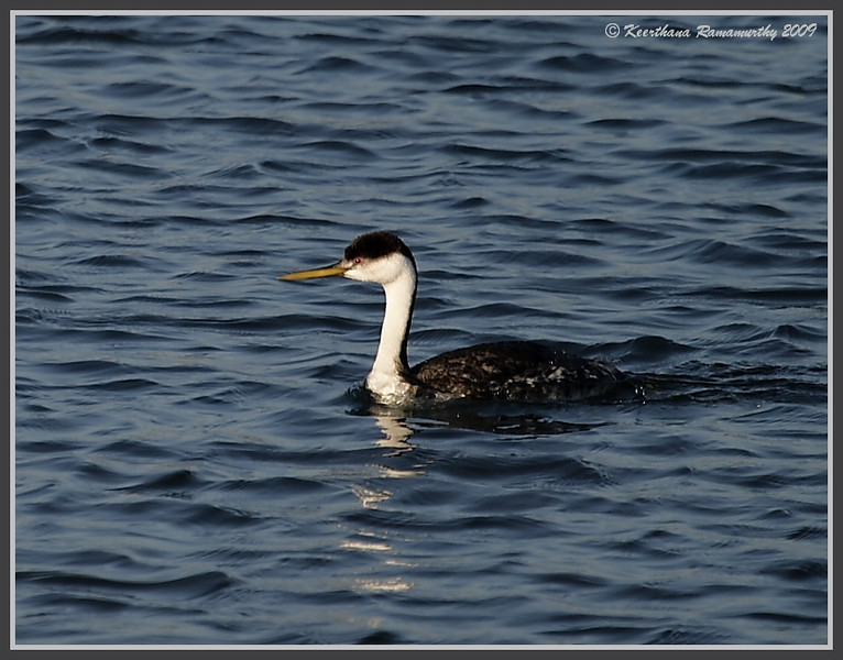 Western Grebe, Robb Field, San Diego River, San Diego County, California, October 2009