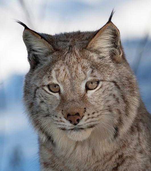 Lynx 4.jpg