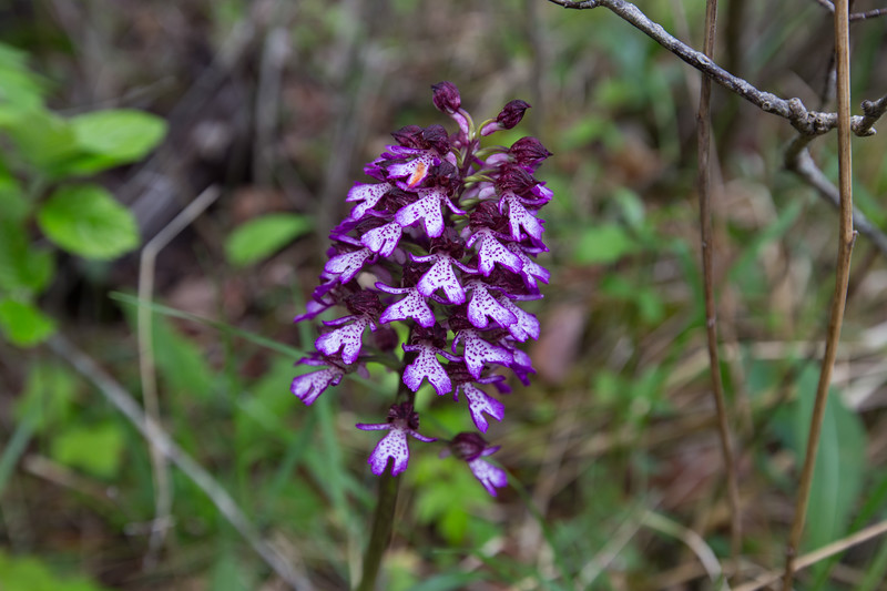 balcon de glandasse, orchis purpurea, purperorchis