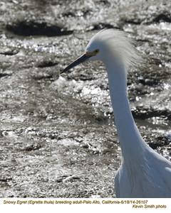Snowy Egret A26107.jpg