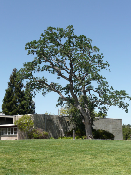 Another Tree at SLAC