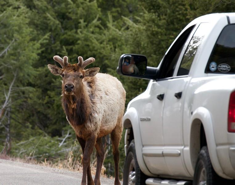 Elk bull in velvet in traffic Yellowstone National Park WY IMG_4903.jpg