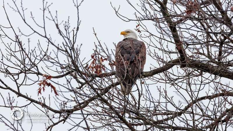 Eagle in Tree - Selected