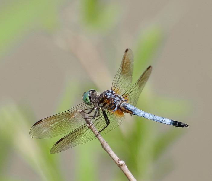 Dragon fly-8.jpg