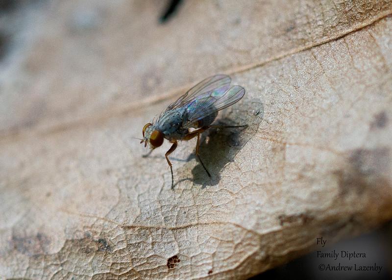 Unknown Fly.jpg
