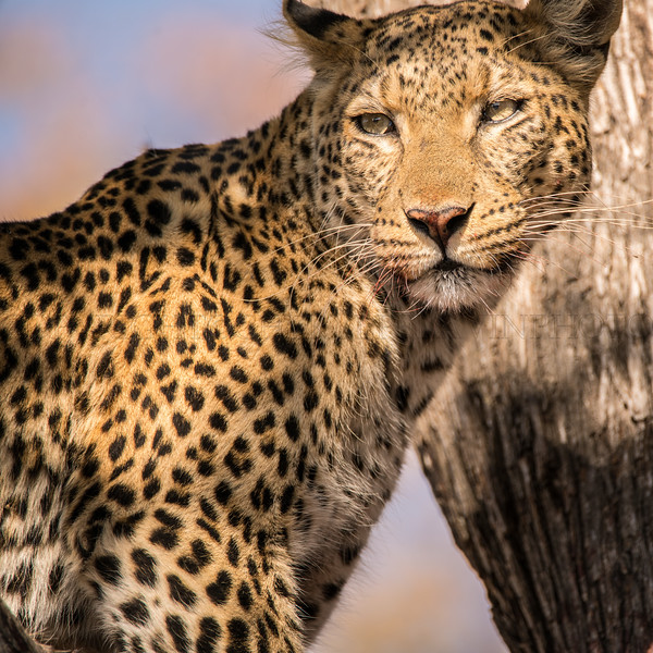 Leopard in the Sun