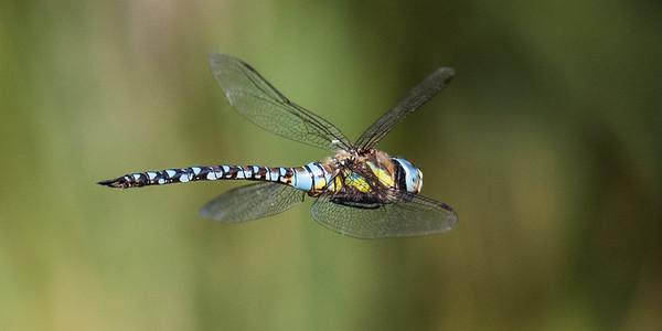 Dragonflies - Guldsmede