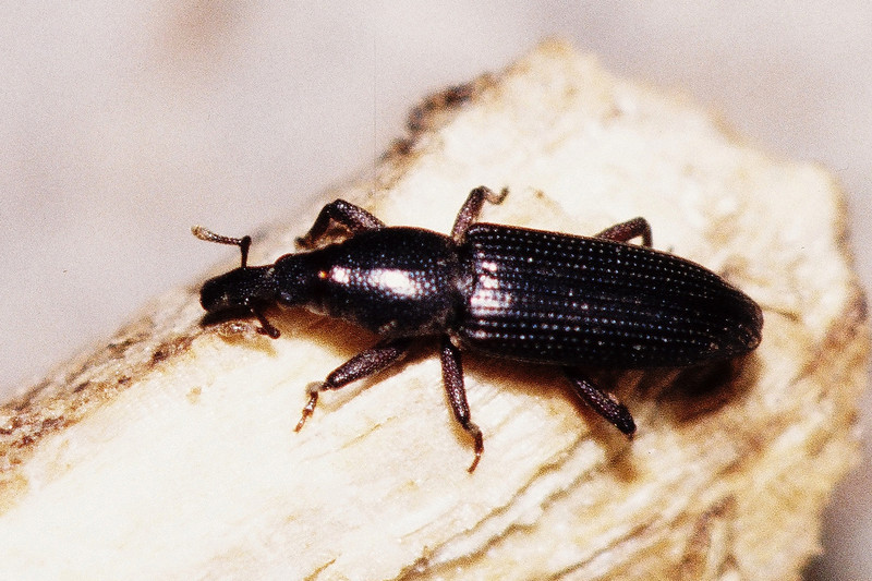 Coleoptera : Curculionidae in dead Reynoldsia sandwicensis, West Maui