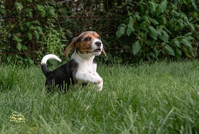 Sydney's (Beagle) Pups