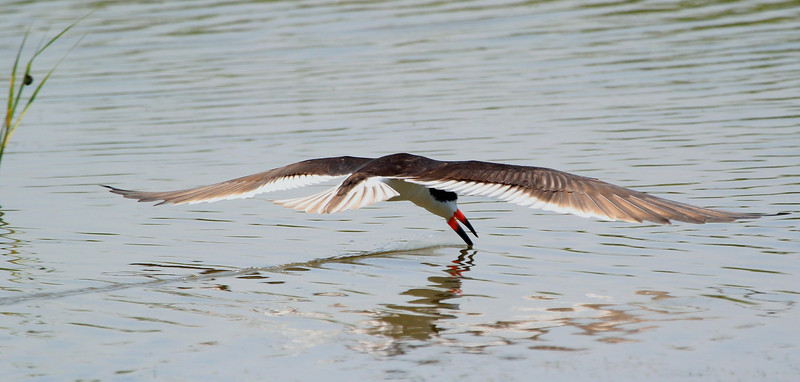 Black Skimmer, May 21, 2012 Galveston, Texas from about 50 feet away. You can tell by the thin wake that the bird had a lot of speed-perhaps 25 MPH or more. Capturing a clear image in focus was difficult.