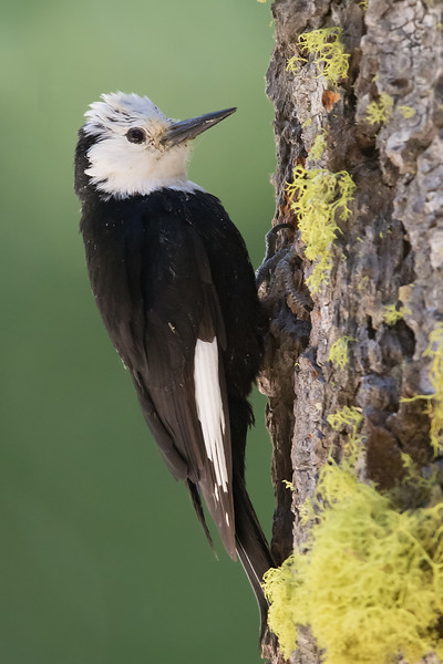 White-headed Woodpecker - Female - Sierra Valley & vicinity, CA, USA