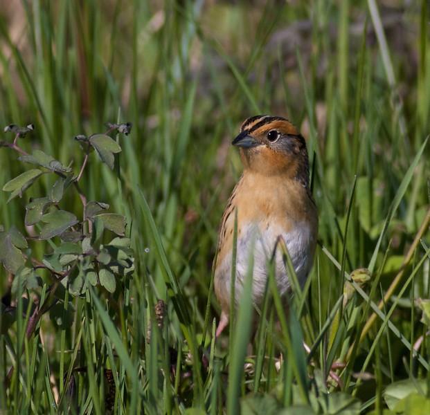 LeConte's Sparrow Stone Lake Road Sax-Zim Bog MN IMG_7781.jpg