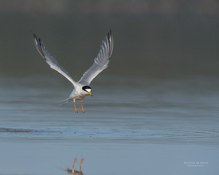 Little Tern, Lake Wollumboola, NSW, Nov 2014-1.jpg