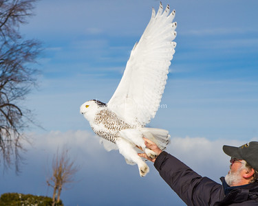 Tom McDonald Banding Snowy Owl