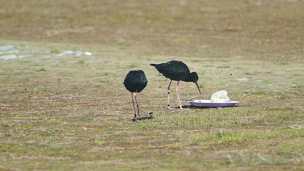 Kaki / Black Stilt
