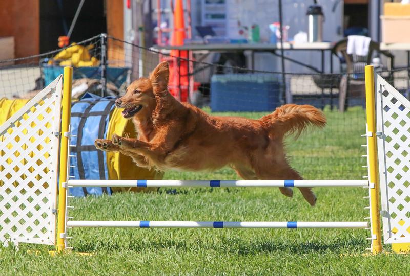 3-31-2018 Shetlant Sheepdog-3026.jpg