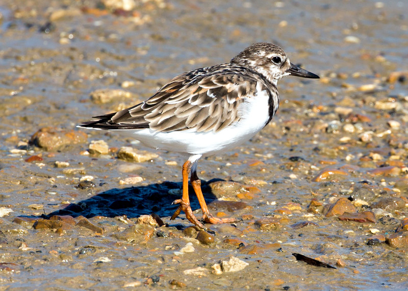 A lovely Ruddy Turnstone, probably a female