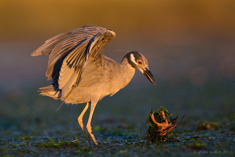 Yellow-crowned Night Heron and Crab
