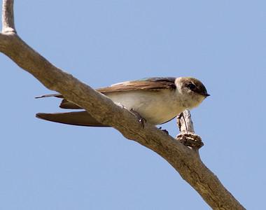 Violet-green Swallow Tachycineta thalassina