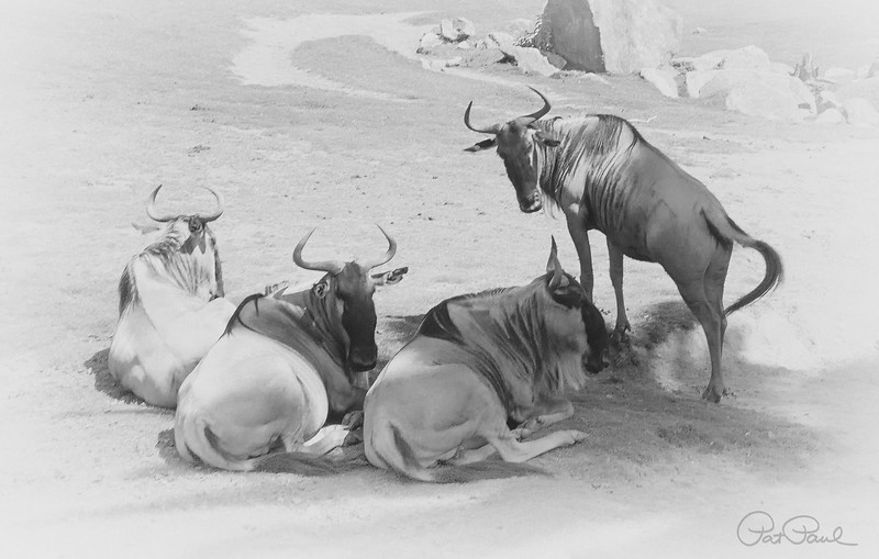 Wildebeests (San Diego Safari Park)