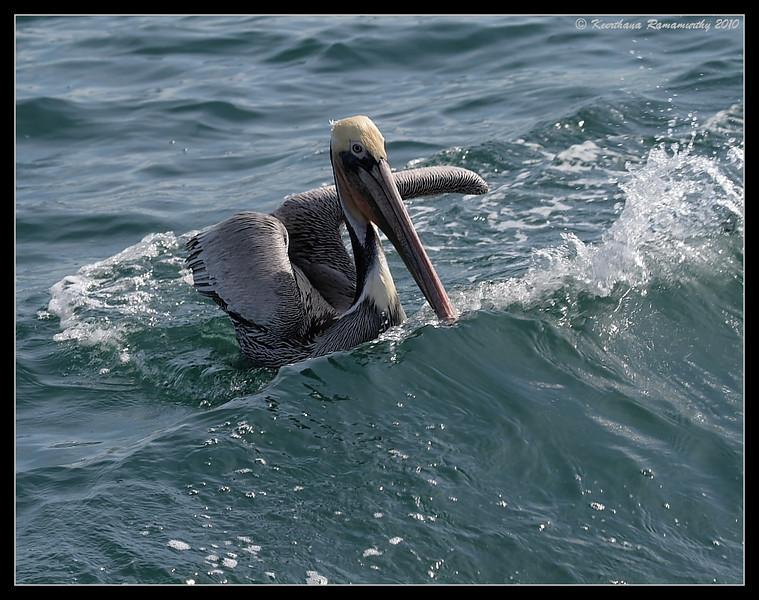 Brown Pelican, Oceanside Pelagic Trip, San Diego County, California, January 2010