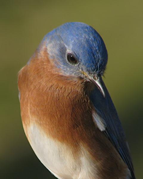 bluebird_2595.jpg