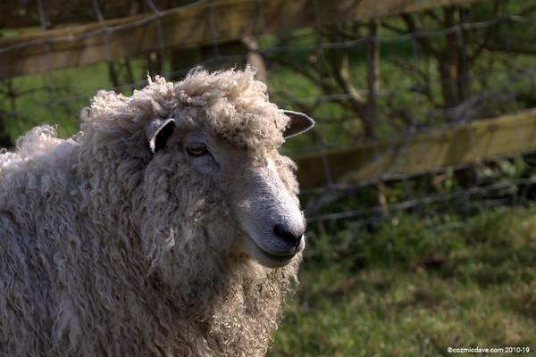 Sheep - Set 2