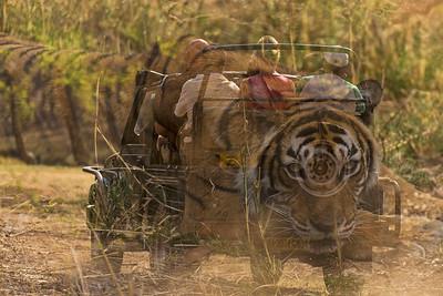 Tiger tours