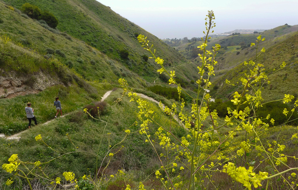 . Wildflowers are in bloom along hiking trails within the Upper Filiorum Reserve in Rancho Palos Verdes.  Hikers start their way down the Rattlesnake trail through Altamira Canyon past mustard plants. 20130320 Photo by Steve McCrank / Staff Photographer