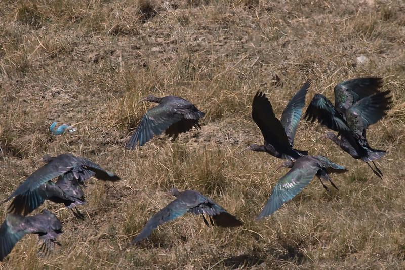 Puna Ibises at Huacarpay Lakes, Peru (2008-07-04).psd