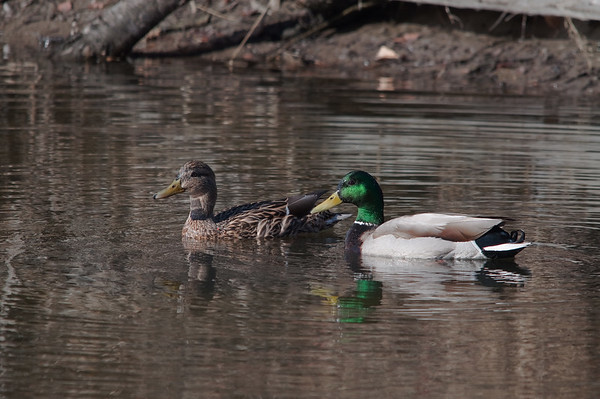 Mallards, Shovelers & Pintails