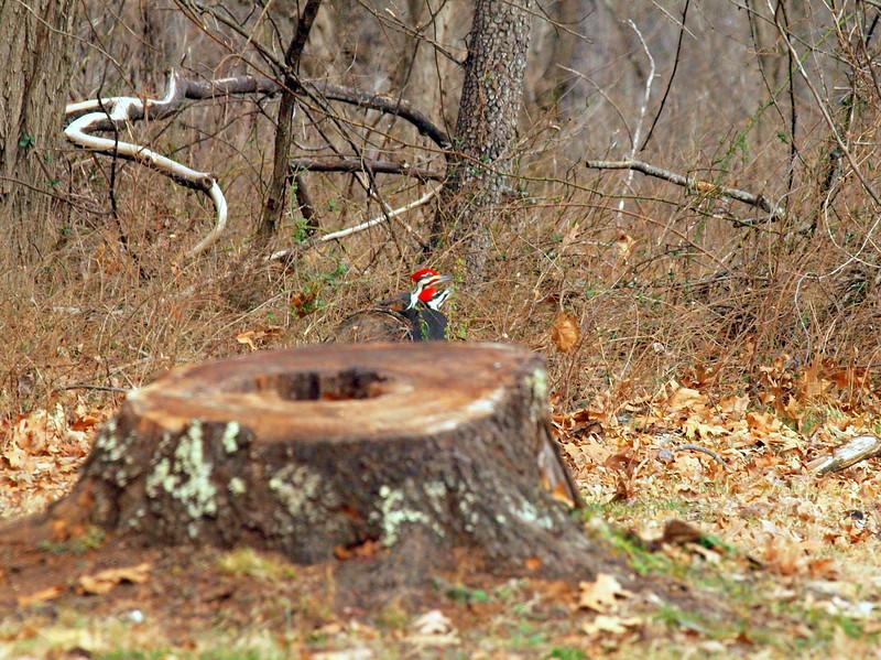 Pileated Woodpecker-010.JPG