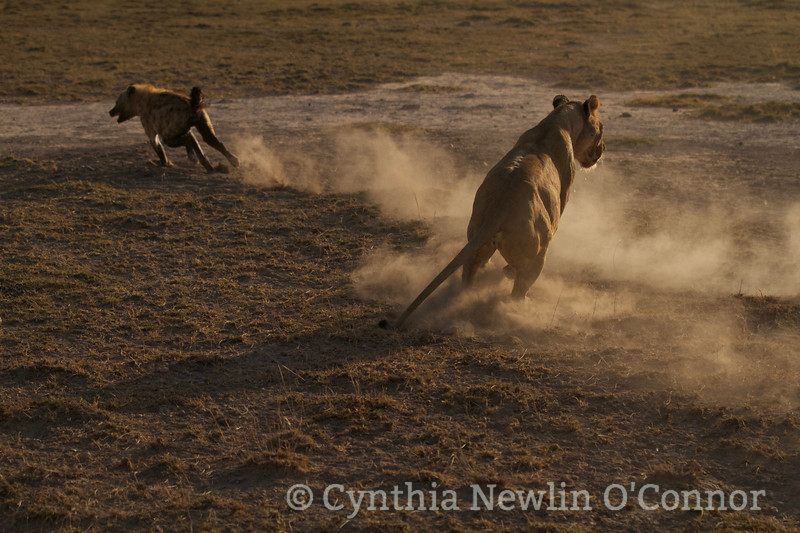 Cat Fight and More - 10 - Lioness Scatters Hyenas.jpg