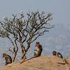 The Monkey Tree, Hampi, India