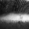 DOE IN FOG
