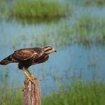 Savanna Hawk bird in the South Pantanal of Brazil