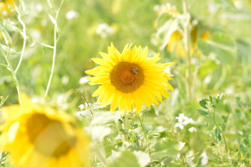 Sunflower Lonay_20092020 (22).JPG