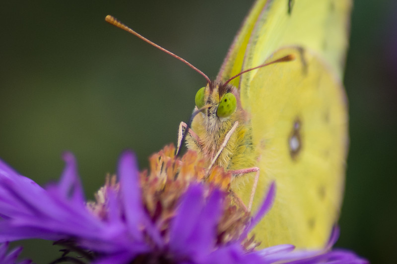butterfly sulpher yellow (1 of 1).jpg