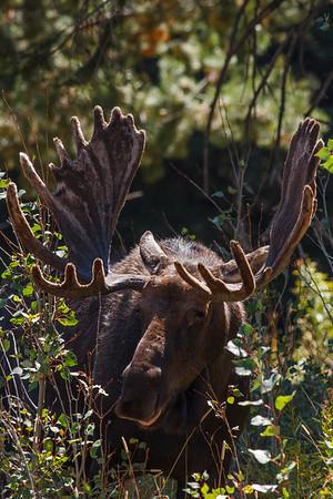 Moose, Mule Deer, Sika Deer
