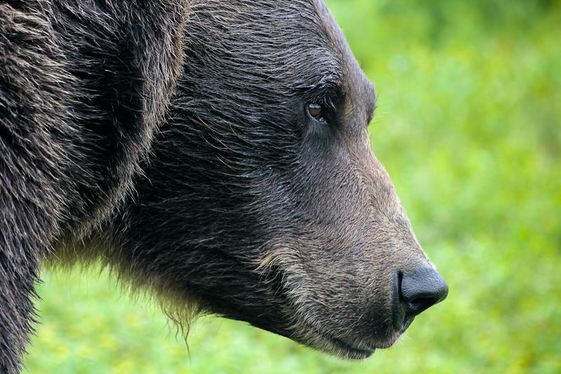 Bear Analyzing.jpg
