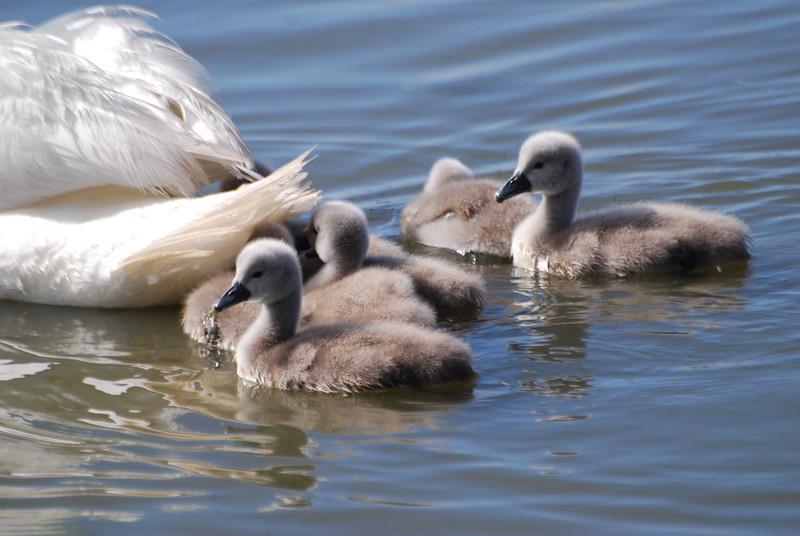 Swan Babies.JPG