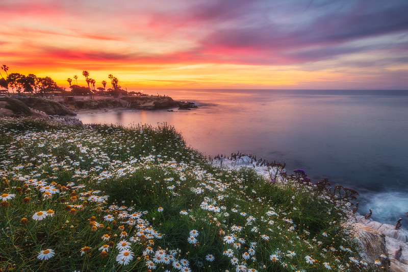 La Jolla Bloom