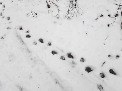 20200102 Raccoon Tracks